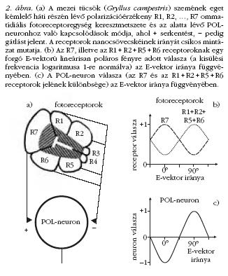 Polarizáció vektor